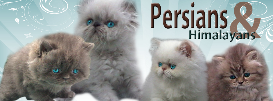 Persian And Himalayan Kittens For Sale Persians And