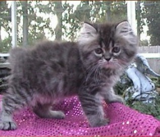 Brown Tabby Persian  SOLD