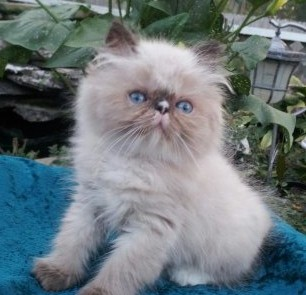 Seal & White pt.  Male  Himalayan *SOLD*
