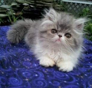 Blue and white Persian female  *SOLD*