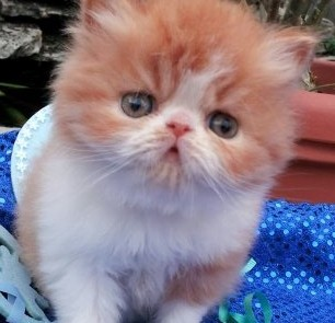 Red and White Male Persian Kitten  *SOLD*