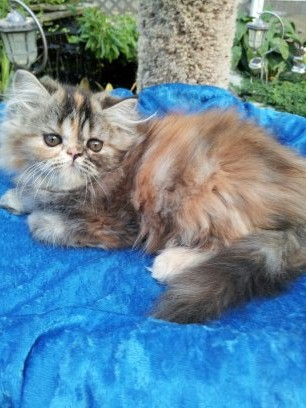 Chocolate Calico  Female  Persian Kitten *SOLD*