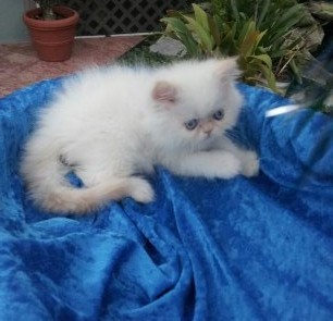 Flame point  Male Himalayan Kitten *SOLD*