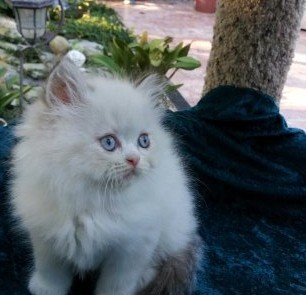 Chocolate & White Lynx  Point  Himalayan Male kitten *SOLD*