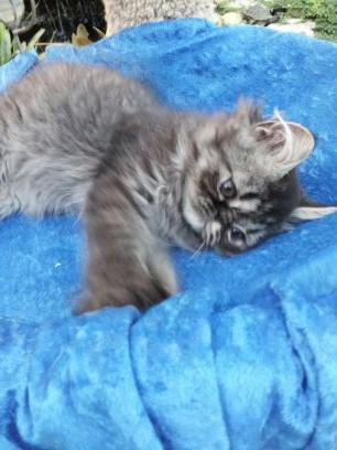 Silver Tabby Male Persian  *SOLD*