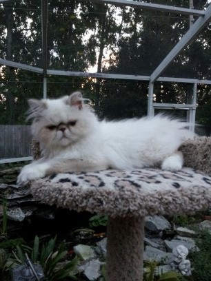 Chocolate & White  Himalayan Kitten  *Available*