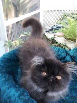 Black  Persian  Male  Kitten   *SOLD*