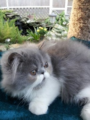 Blue & White  Persian  Male  Kitten *SOLD*