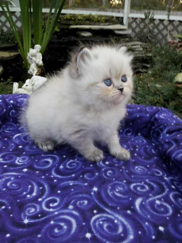 "Blue Lynx point  Male Himalayan kitten   ""SOLD"""