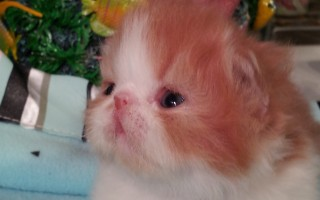 Red & white  Persian  Male  kitten  * Reserved *