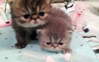 Brown & Blue Tabbies  Persian  females *Available *