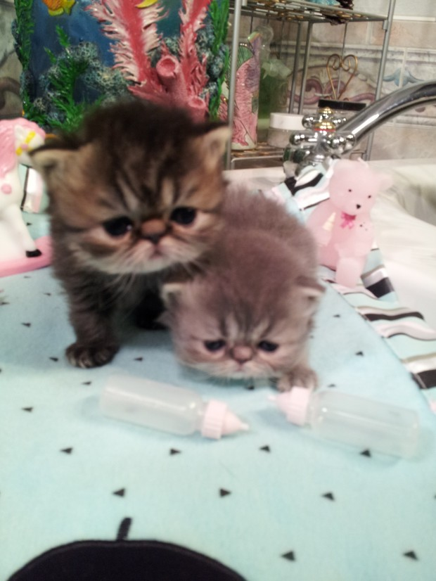 Brown & Blue Tabbies  Persian  females * SOLD *