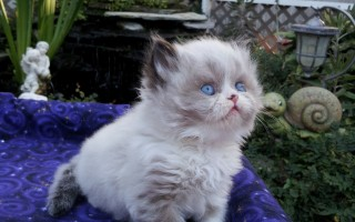 "Seal & white point  Male  Himalayan kitten ""Available"""