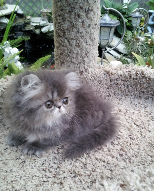 Blue Tabby Female  Persian  *SOLD*
