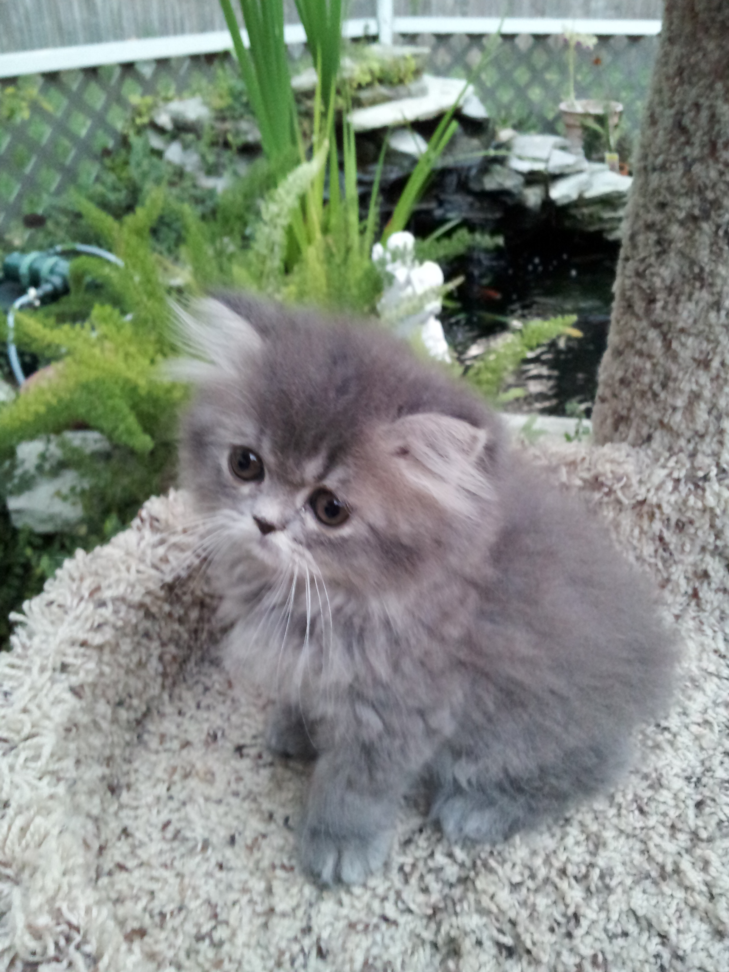 Blue Tabby Doll face female Persian SOLD