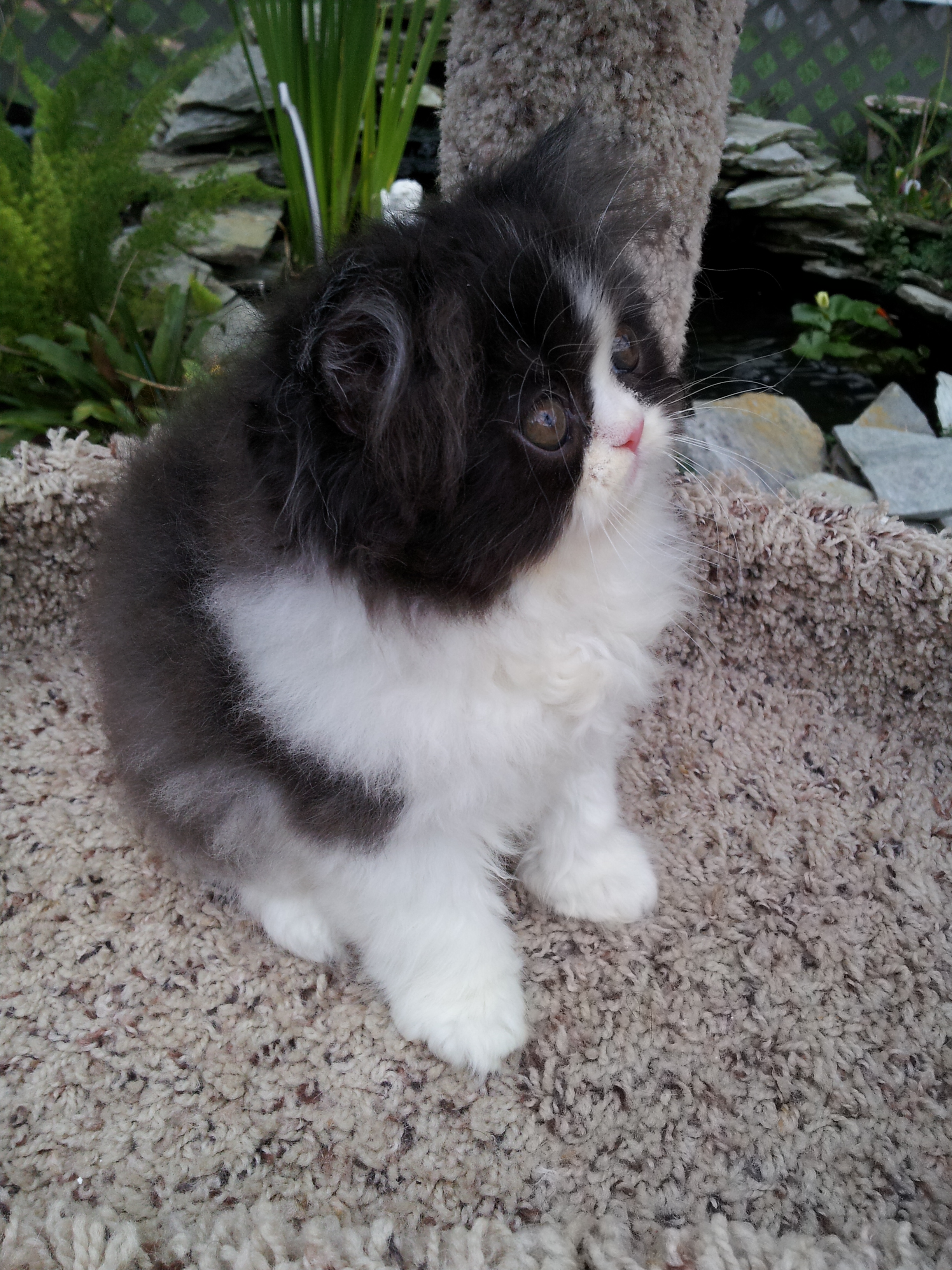 Black & white Persian male kitten SOLD