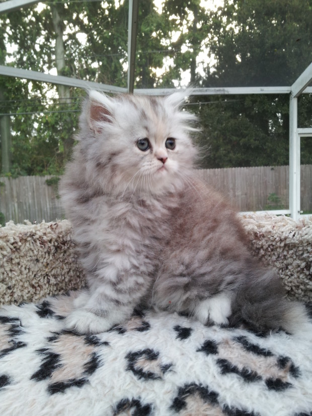 Silver Patched Tabby Persian female * SOLD * | Liz Top Cat Tabby Persian