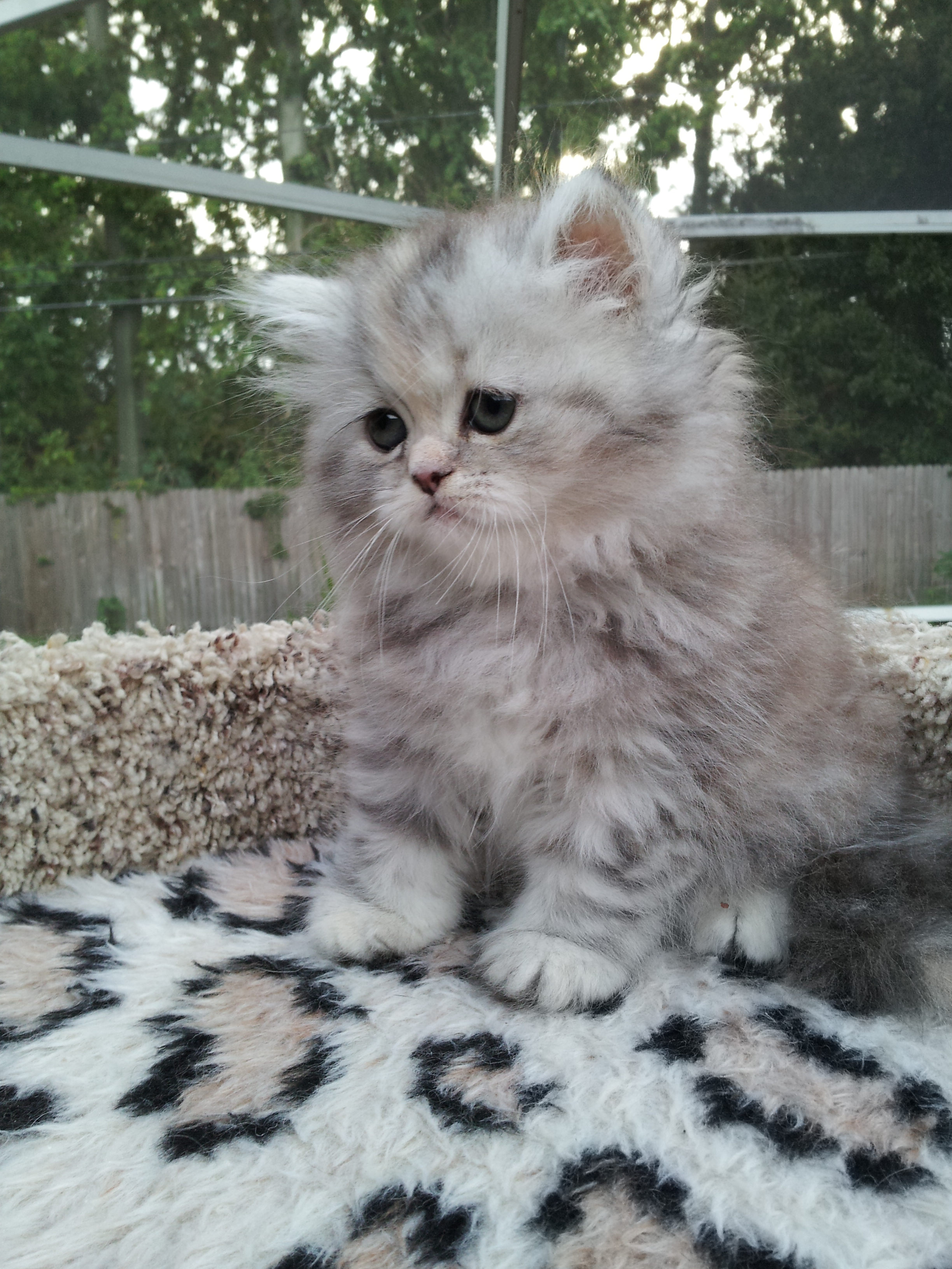 Silver Patched Tabby Persian female SOLD