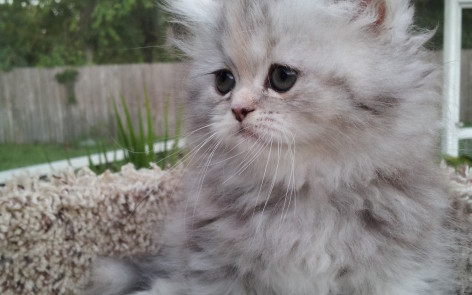 Silver Patched Tabby Persian female  * SOLD *