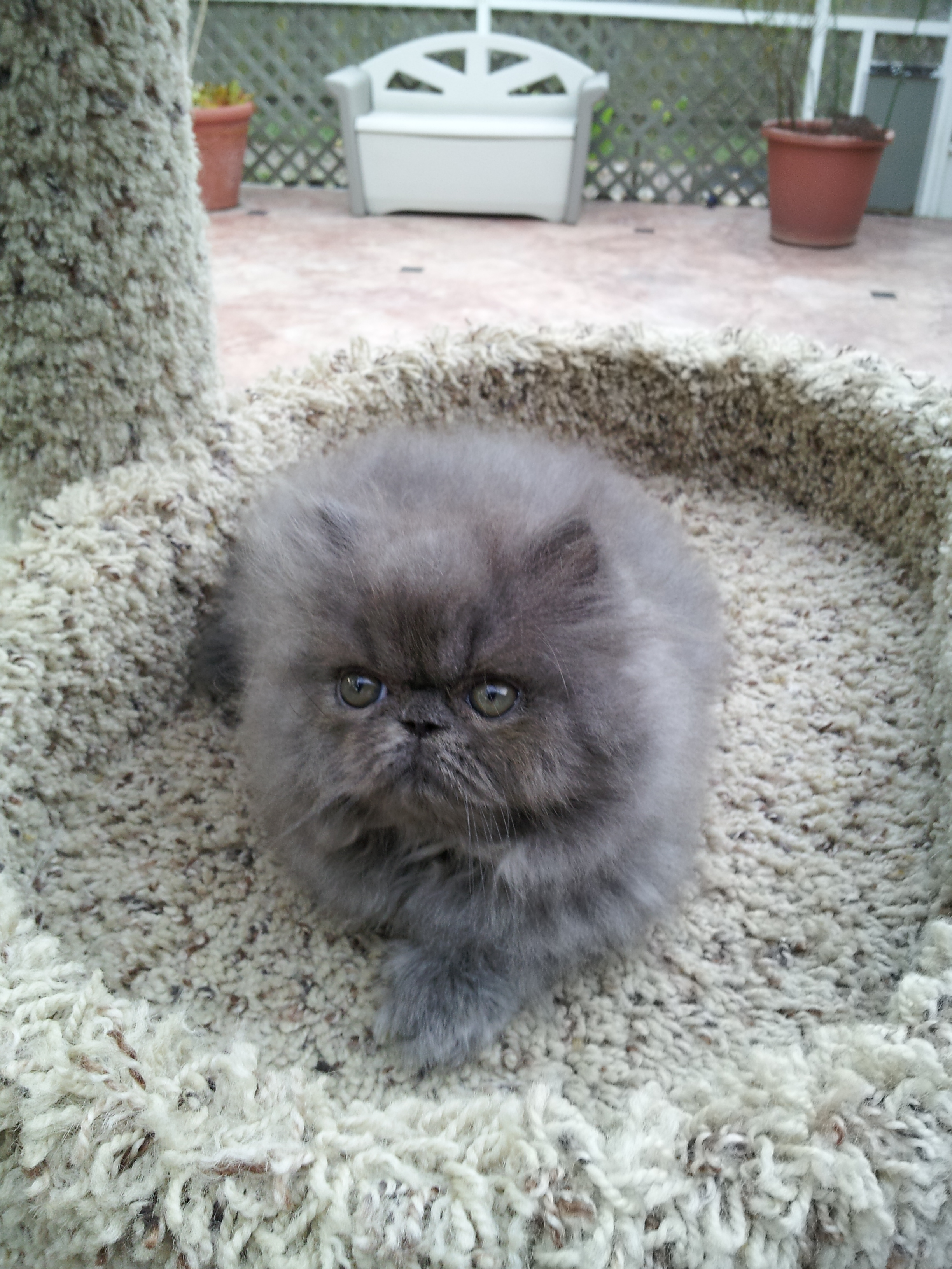 Blue Persian Male kitten SOLD