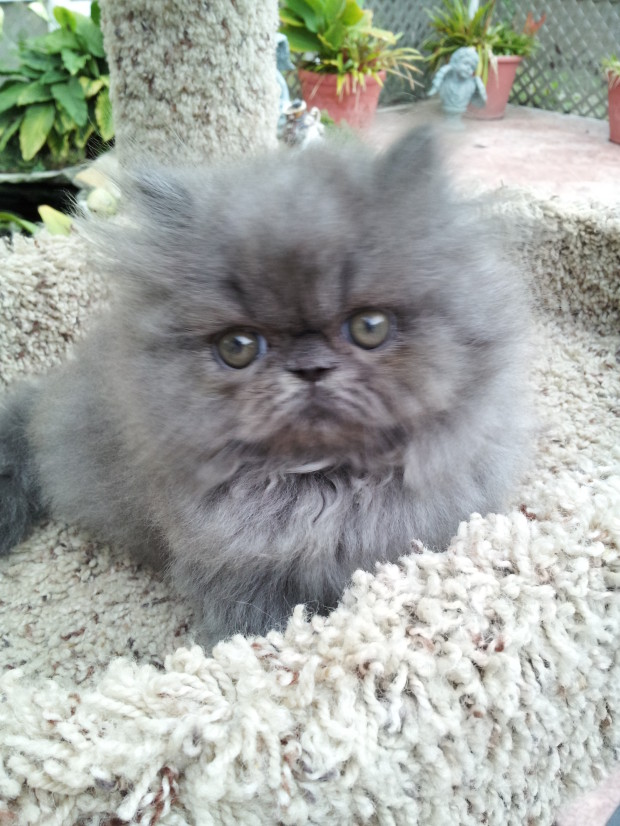 Blue  Persian  Male  kitten  *SOLD*