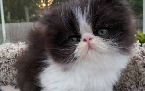 Black & White Persian, male kitten  *SOLD*