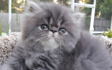 Blue Tabby  Persian, Male kitten *SOLD*