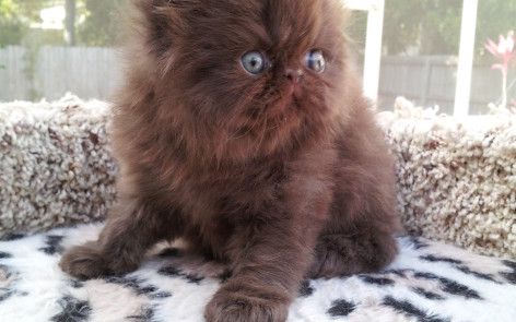 Chocolate Persian  male kitten  *Reserved*