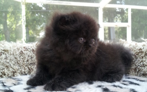 Black  Persian  male kitten  * SOLD *
