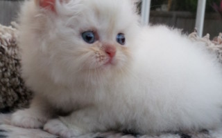 Flame point  Himalayan, female kitten *Available*