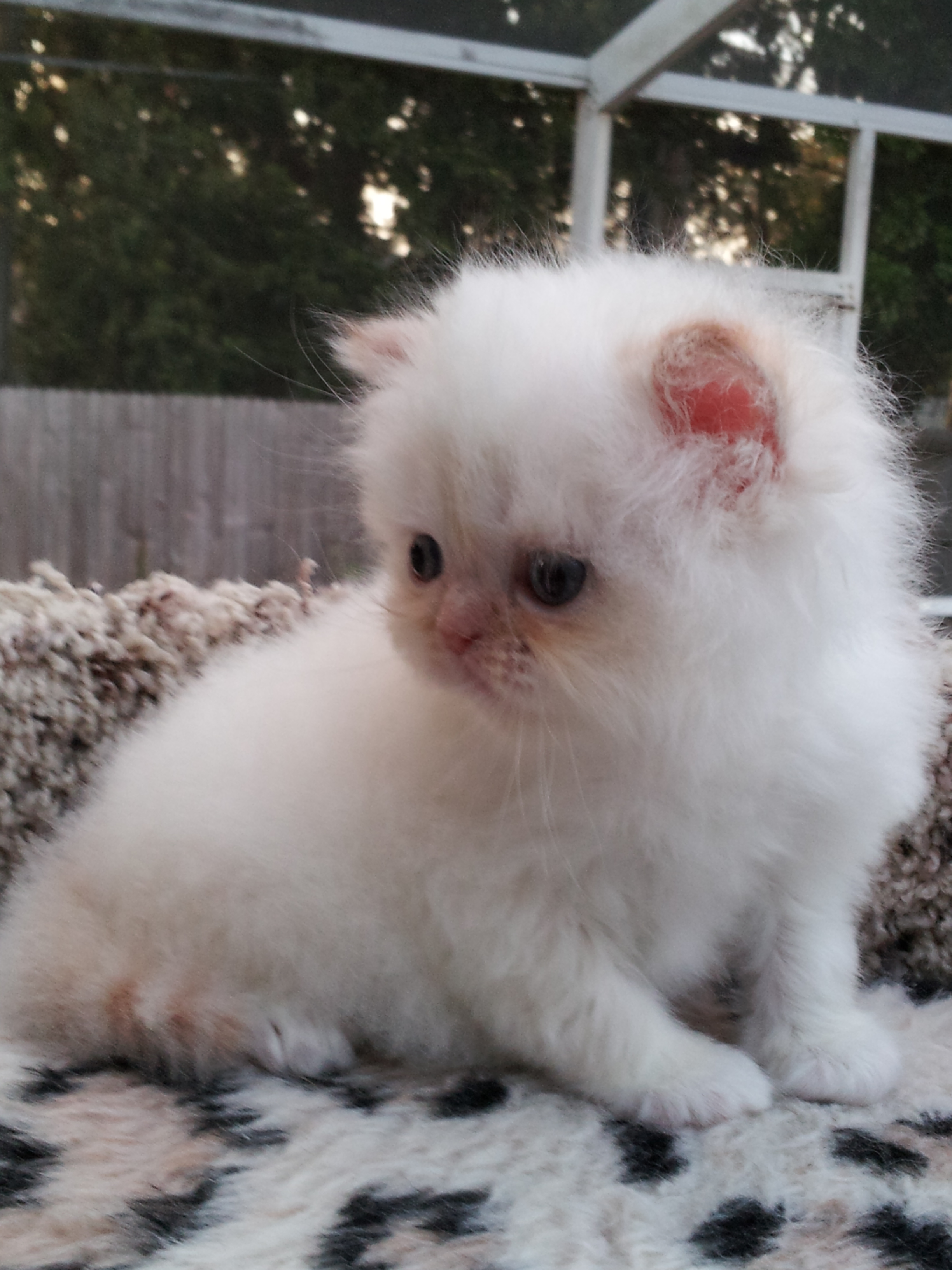 Flame Point Kitten Flame point himalayan, male