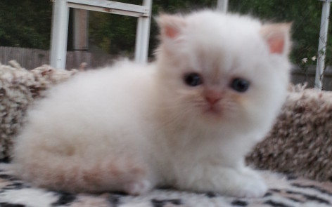Flame point  Himalayan, male kitten  *Reserved*