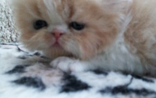 Red & white Persian, male kitten  *Available*