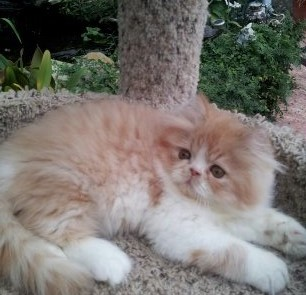 Red & White Persian Male kitten * SOLD *