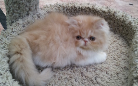 Red & White Persian Female kitten * SOLD *