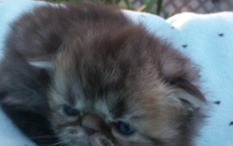 "Chocolate Tabby, Persian Male  ""SOLD"""