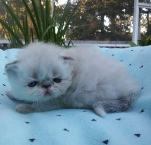 "Seal & white point Himalayan Female ""SOLD"""