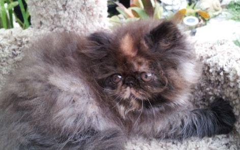 Tortoiseshell Persian, Female kitten  *SOLD*