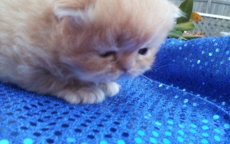 Red Tabby Persian, Male kitten  *SOLD*