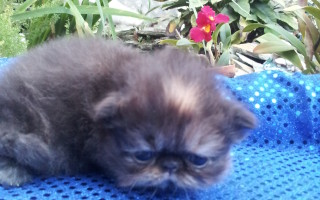 "Tortoiseshell Persian, Female kitten  ""Available"""