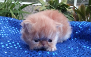 Red & white Persian, Female kitten  *Available""