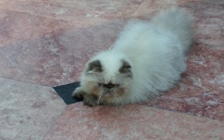 "Seal Point Himalayan, female kitten  ""Available"""