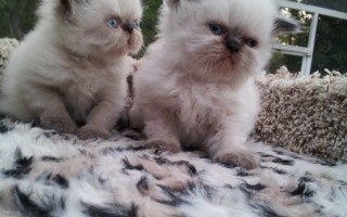 Seal point Himalayan male kittens *Available*