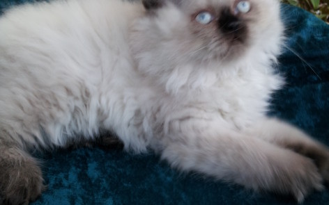 Seal point Himalayan Male kitten  *SOLD*