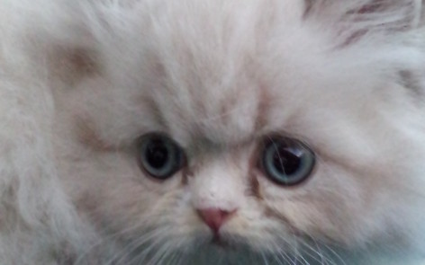 "Seal-white point Himalayan Male kitten ""SOLD"""
