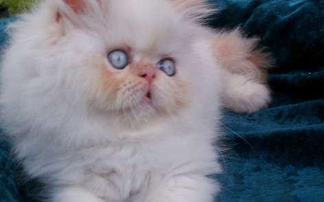 Flame point  Himalayan Male kitten  *SOLD*