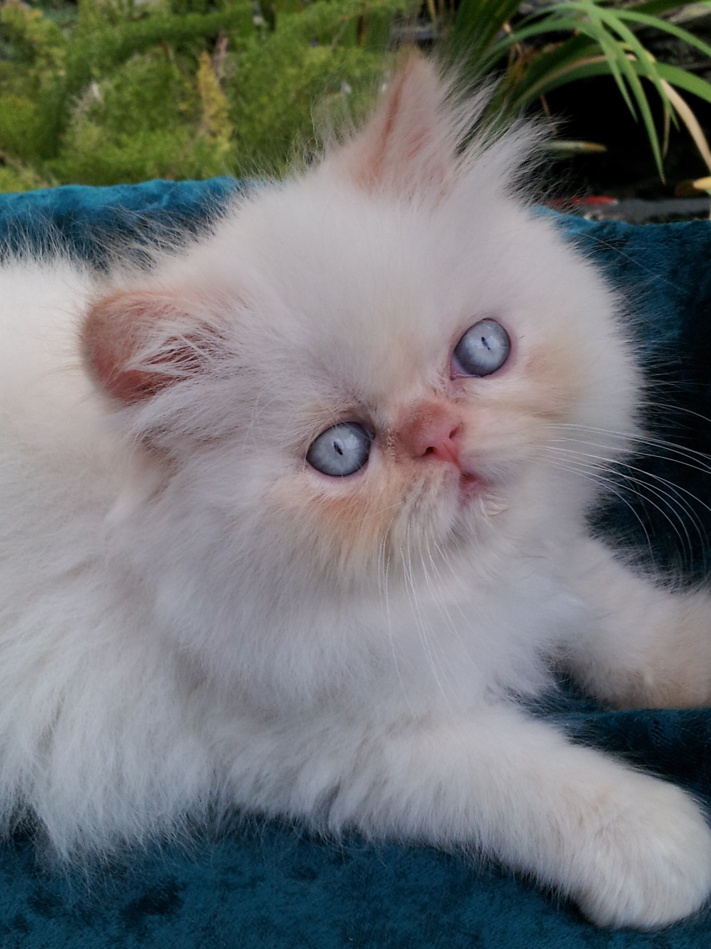 Flame Point Kitten Flame point himalayan male