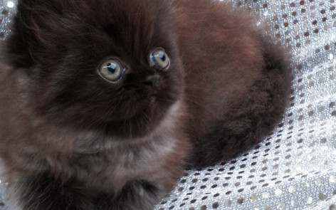 Solid Black Persian Male kitten  *SOLD*