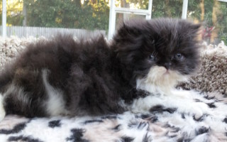 Black & white Persian Male kitten *SOLD*