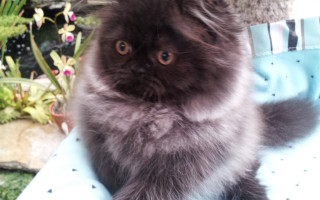 Black Smoke Persian Male kitten *SOLD*